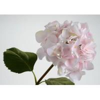 Hortensia Serrata blanco y rosa 65cm