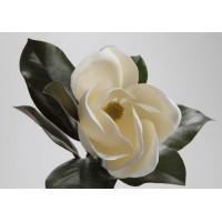 Magnolia Grandiflora blanca 45h cm