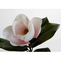 Magnolia Grandiflora blanca y rosa 45h cm